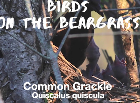 Birds on the Beargrass: Common Grackle [Isolation Vacation]