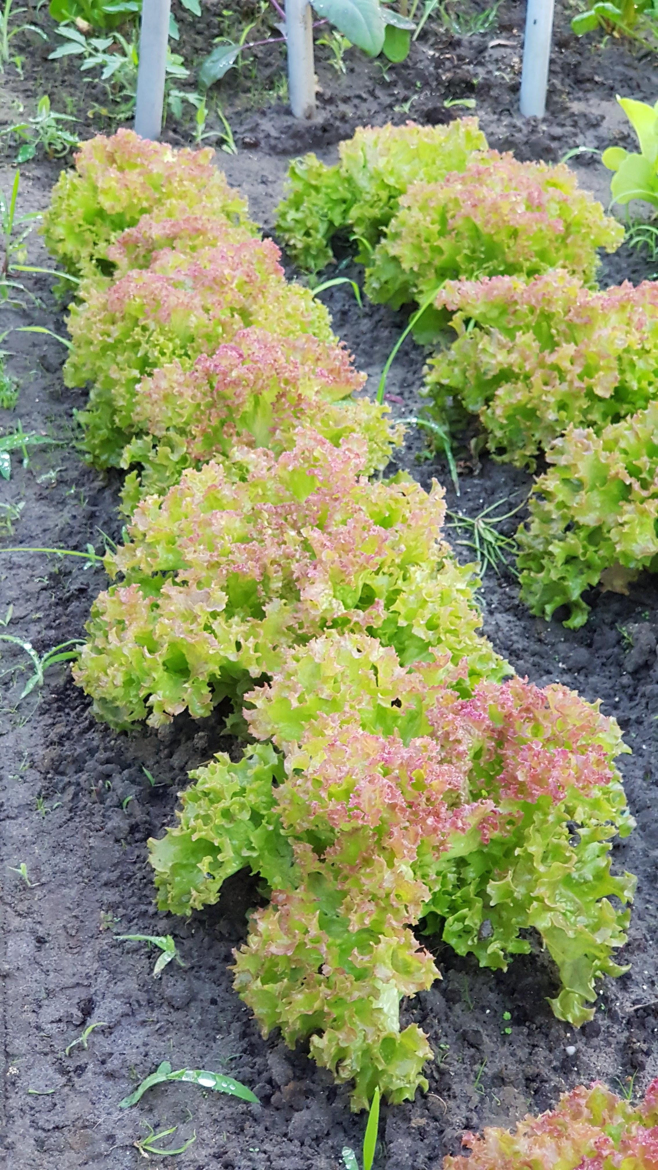 bio zöldség a Zöld Tanyán