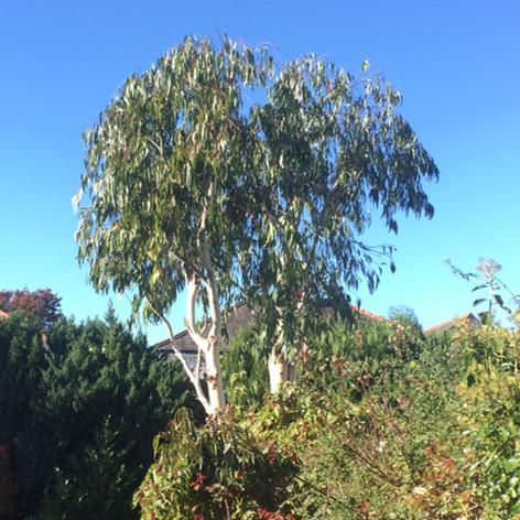 Eucalyptus prune after