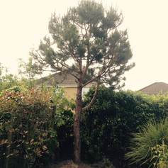 Pine tree shaping aftershot