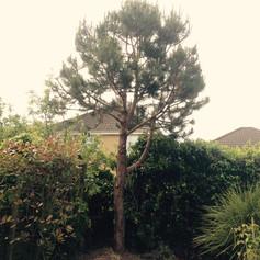 Pine tree shaping aftershot