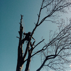 Sycamore dismantle