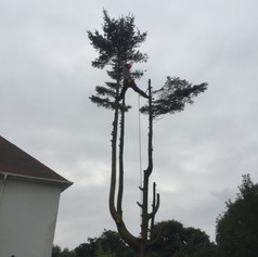 Spruce tree dismantle