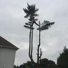 Spruce tree dismantle