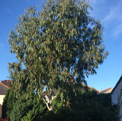 Eucalyptus prune before