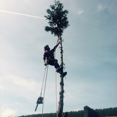 Conifer dismantle