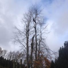 Beech tree felling