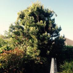 Pine tree shaping before