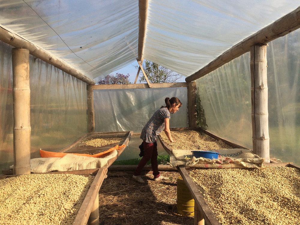 Finca La Esmeralda, coffee beans on drying beds