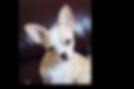 Bella Therapy Dog