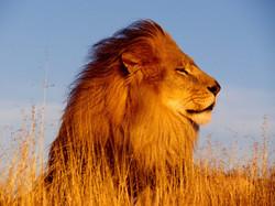 lion-894