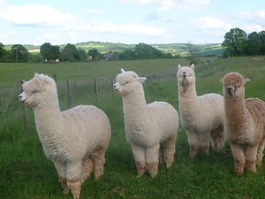 Alpagas en laine