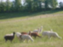 Troupeau de femelles alpagas dans les prés avant la tonte