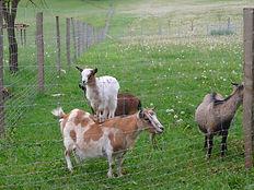 Chèvre équilibriste