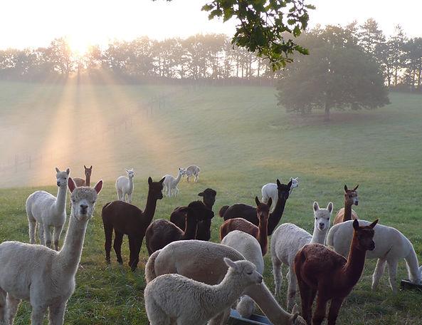 alpagas du Quercy, élevage du Lot