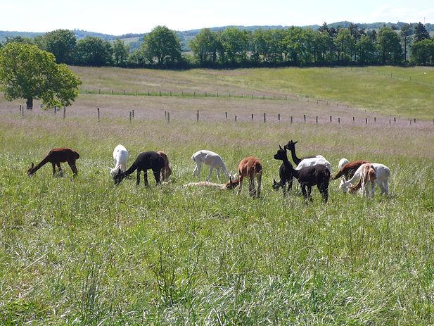 alpagas femelles,élevage,Quercy,Lot