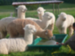 alpagas du Quercy, nos reproducteurs dans le Lot, au coeur du parc naturel régional des causses du Quercy