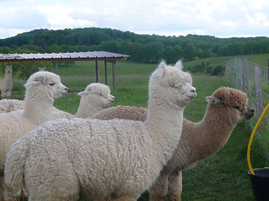 Alpagas en pleine laine