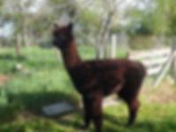 Alpaga noire