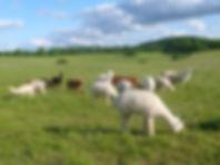 femelles alpagas avant la tonte dans le Parc Naturel Régional des Causses du Quercy dans le Lot
