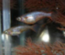 Ricefish.jpg