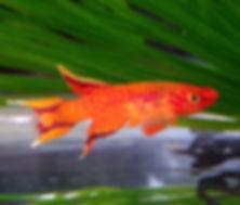 OrangeLyreKilli.jpg