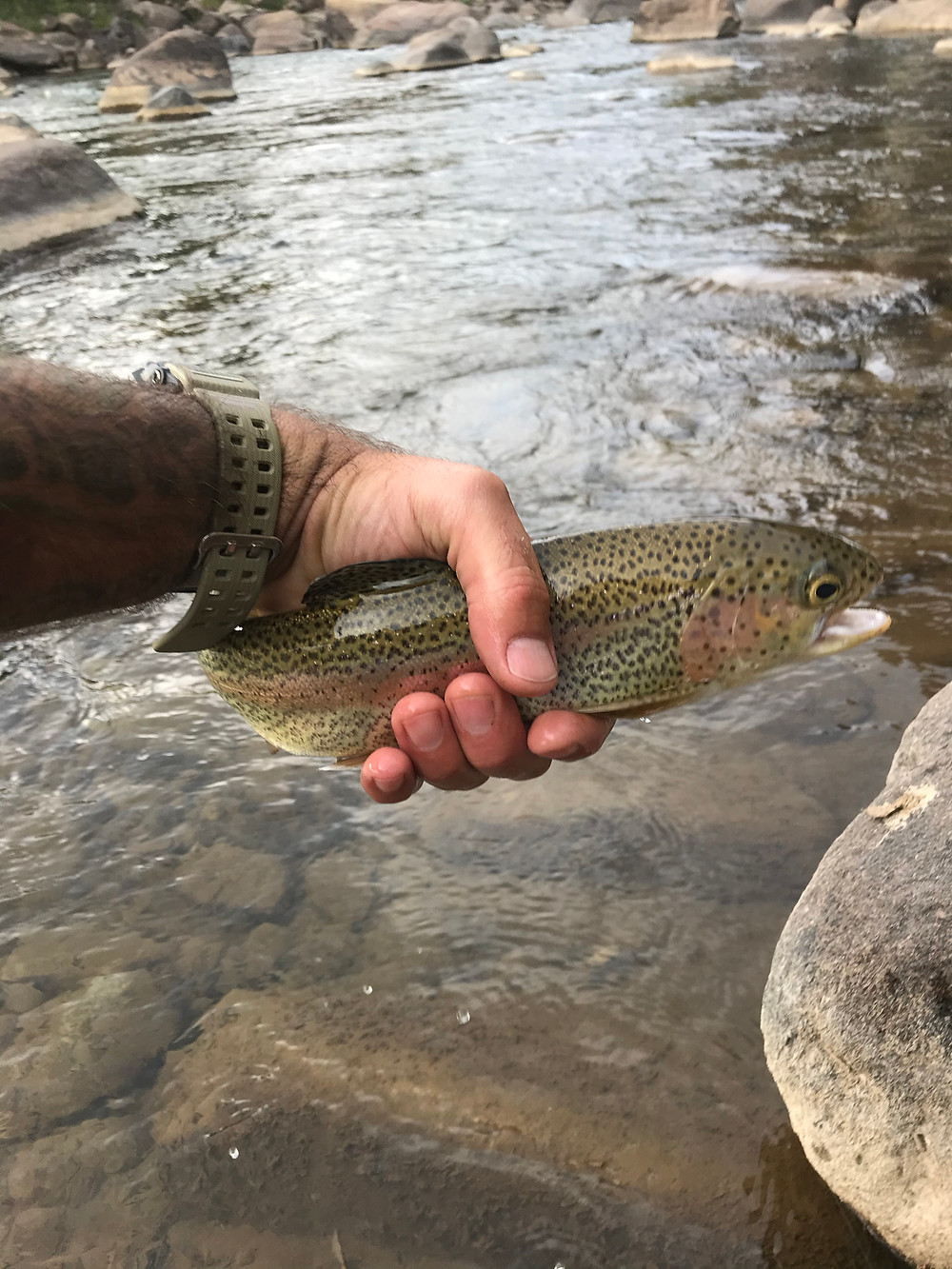Rainbow trout, fly fishing