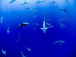 14 de Julio Día de concientización de los Tiburones