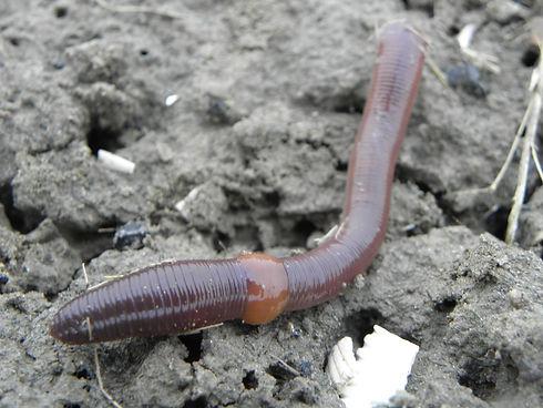 Earthworm_01.jpg