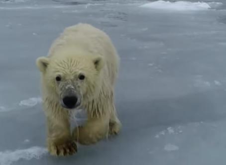 Πολικές αρκούδες: Παλεύουν να σταθούν σε λιωμένους πάγους [vid]