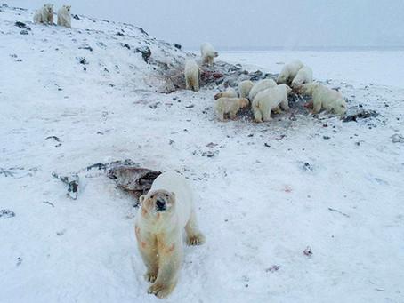 Πολικές αρκούδες: Χωρικοί στη Ρωσία τους έδιναν τροφή - Η κλιματική αλλαγή είναι εδώ [vid]
