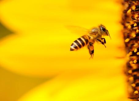 Μέλισσες υπό εξαφάνιση: Αυτοί είναι οι λόγοι που μειώνονται [graphics, vid]