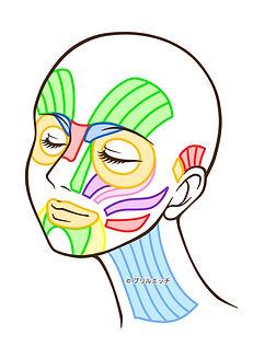 筋肉図.jpg