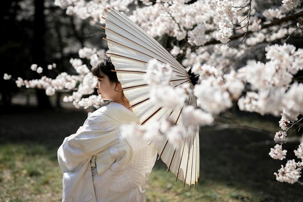 和装前撮り桜