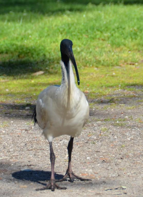 ibis (Medium)