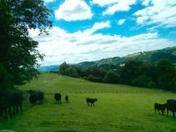 """Ifor's """"Kobe"""" beef cattle"""