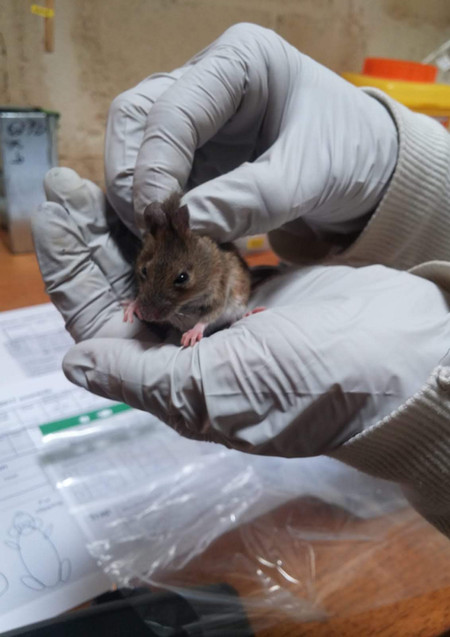One of Aura's mice