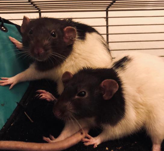 Rats 2.jpg