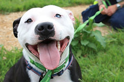 staffordshire bull terrier - Harley