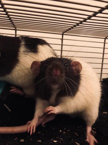 Rats 1.jpg