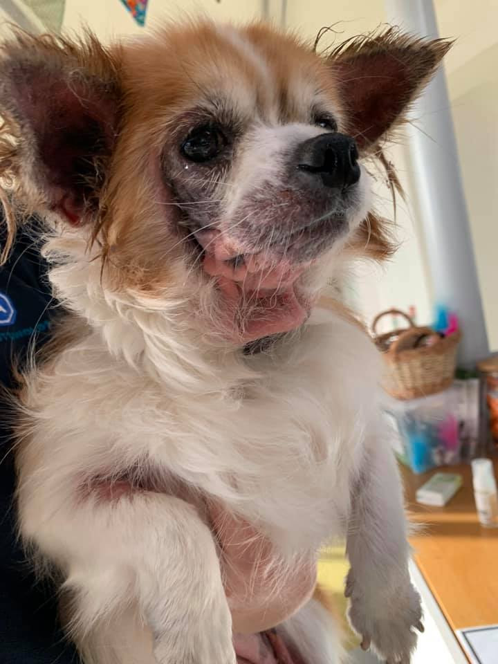 Chihuahua rescue dog with skin condition