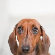 closeup-photo-of-red-dachshund-895259 (1