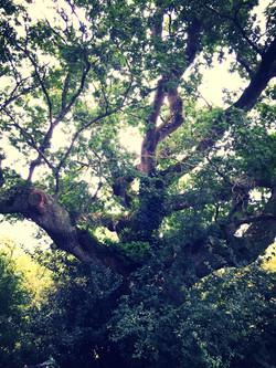 Chêne de Merlin