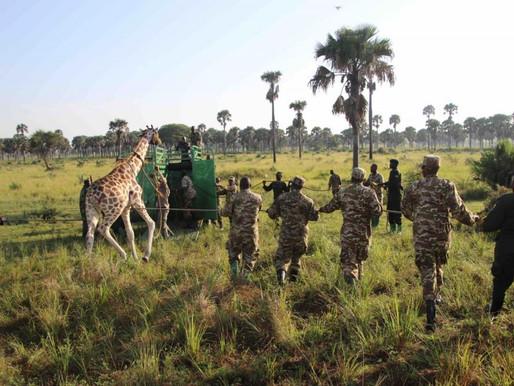 'Explorers against Extinction' & Uganda Tourism unite to safeguard the world's tallest mammal.