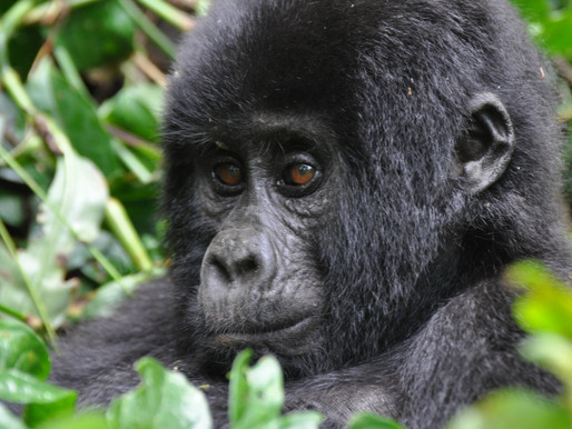 New prices for Uganda Gorilla permits