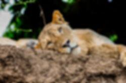 Zambia Lower Zambezi Lioness