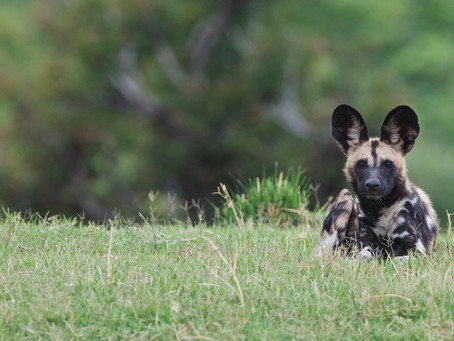 THE PAINTED WOLVES OF KONKAMOYA