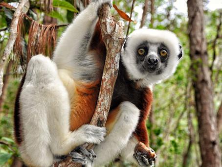 UNIQUE LEMUR ENCOUNTERS IN MADAGASCAR