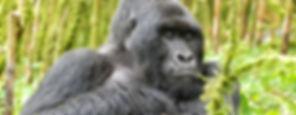 Gorilla silverback.JPG