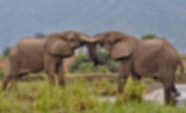 Zambia Lower Zambezi Elephants